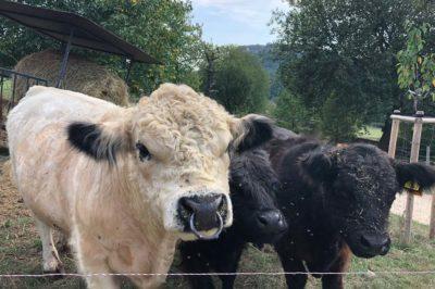 Impressionen-Rinder-Weide-mit-Blick-auf-die-Festung-400x266-1