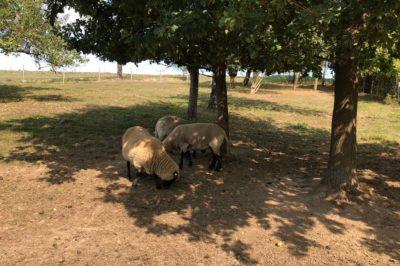 Impressionen-Schafe-unter-Baeumen-400x266-1