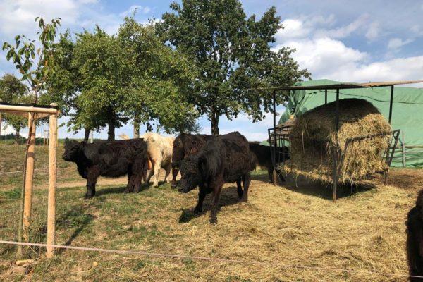 Urlaub-auf-dem-Bauernhof-mit-Rindern-600x400-1